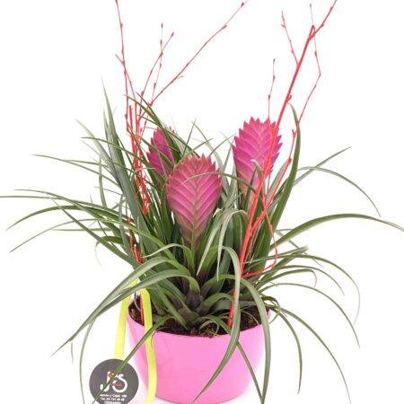 planta tillandsia cyanea anita
